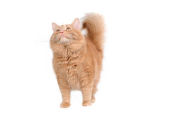 Intrigued red cat Stock Photography