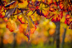 Intriguing grape leaves on a sunny fall day. Red and yellow grape leaves hanging in the sunlight Stock Image