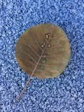 Intriguing leaf against winter background. Autumn leaf on the snow Stock Photo