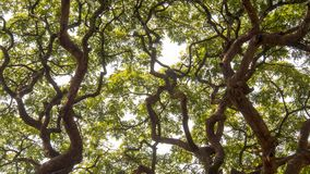 The encounter of two canopy of acacia trees stock photos