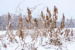 Introduced grasses and dandelions under  melted snow Royalty Free Stock Photography