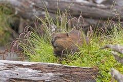 Introduced North American Beaver in Tierra del Fuego Stock Photo