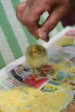 Introducir el pollo Foto de archivo