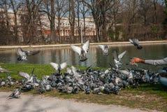 Introducir las palomas Fotografía de archivo
