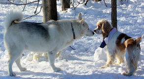 Introduction. Two Dogs Introduction in the winter snow stock image