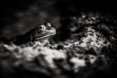 Introvertierter Frosch schaut heraus von seinem Schutz lizenzfreies stockfoto