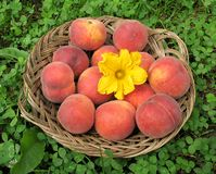 The intruder. Basket of peaches with pumpkin flower Stock Photo