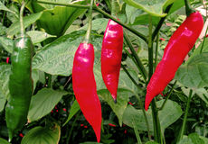 An Intruder into the Red Pepper`s Rendezvous or The Importance of Inclusion Stock Photography