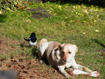 Intruder among us. Stealthy magpie encroaches on a dog`s breakfast Stock Photography