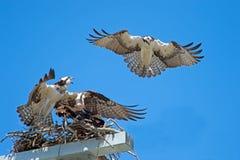 Intruso del falco pescatore Fotografie Stock Libere da Diritti