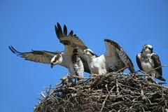 Intruso del falco pescatore Fotografia Stock