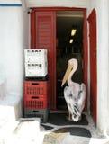 Intruso del pelícano. Mykonos, Grecia Fotografía de archivo