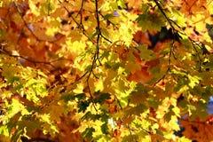 Intryck av sidor och höstfärger Gollden lönnträd Royaltyfri Bild