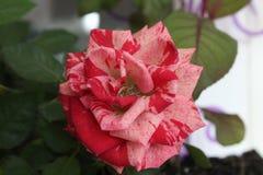 Intuição de Rose Pink fotografia de stock royalty free