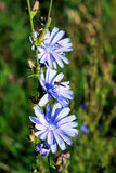 intybus cichorium Стоковые Изображения