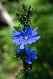 Intybus del Cichorium, asteraceae Fotografia Stock