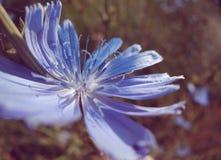Intybus del Cichorium en campo con el sol Fotografía de archivo