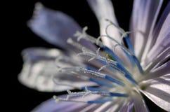 intybus för blomma för chicorycichoriumclose gemensam upp arkivbilder