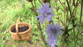 Intybus van witlof gewone Cichorium Volksnamen: kant van de weggras, blauwe bloem, petrov batog stock video