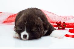 日本人秋田inu在白色的小狗睡眠 库存照片