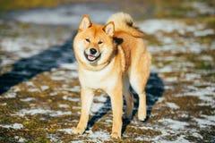 停留美丽的红色什巴Inu的小狗室外 免版税图库摄影