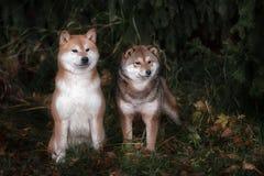 两什巴inu狗在公园 免版税库存照片