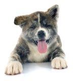 Inu akita щенка Стоковая Фотография