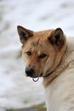 inu akita 2 Στοκ εικόνες με δικαίωμα ελεύθερης χρήσης