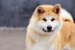 Inu d'Akita de race de chien Image stock