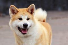 Inu d'Akita de race de chien photographie stock