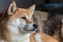 Inu de Shiba Foto de Stock
