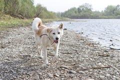 Inu drôle d'akita de Japonais de chien sur la banque pierreuse de la rivière pendant une tempête forte avec la langue  Photos libres de droits