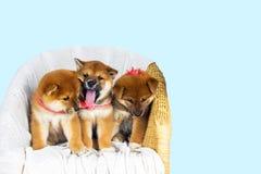 Inu lindo de Shiba de la raza del perrito Foto de archivo libre de regalías