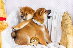 Inu lindo de Shiba de la raza del perrito Fotos de archivo