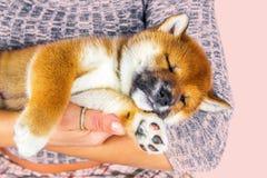 Inu lindo de Shiba de la raza del perrito imágenes de archivo libres de regalías