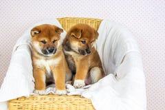 Inu lindo de Shiba de la raza del perrito fotografía de archivo libre de regalías