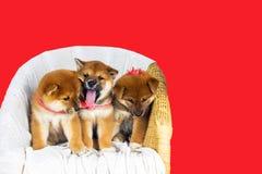 Inu lindo de Shiba de la raza del perrito Imagen de archivo libre de regalías