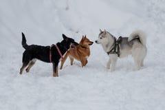 Inu Shiba, сибирская лайка и черная шавка играют на белом снеге Домашние животные стоковые изображения