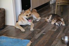 Inu van puppyakita Royalty-vrije Stock Foto's