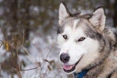 Inuit sania psa zakończenia Up twarz Przygotowywająca iść Dogsledding w Minnestoa Zdjęcia Royalty Free