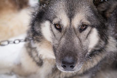 Inuit Sled Dog Close Up Face Ready to go Dogsledding in Minnesota. Close up front face of Inuit sled dog resting in the snow of northern Minnesota, preparing to Stock Photo