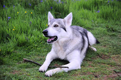 Inuit wolf dog. A northern Inuit, 25% wolf, has the markings of a wolf stock photos