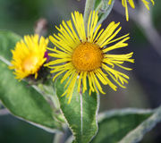 Inula Stock Photography