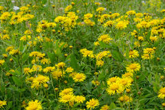 Inula Royalty Free Stock Photography