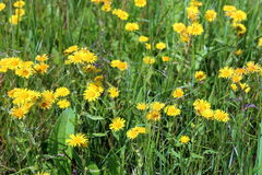 Inula britannica. The blossoming plant on a meadow. Inula britannica. Yellow flowers of a plant close up Stock Photos