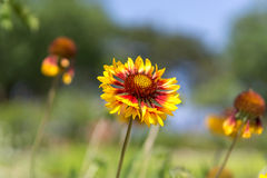 Inula britannica Royalty Free Stock Photography