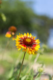 Inula britannica. Growing in the wild with out of focus background Royalty Free Stock Images