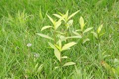 Inula britannica Stock Image