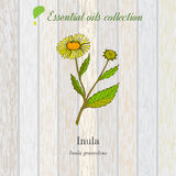 Inula, essential oil label, aromatic plant Royalty Free Stock Images