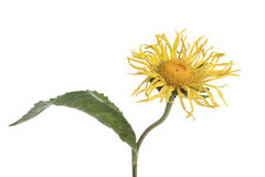 Free Inula Helenium Stock Photography - 20687092